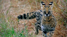 Serval Desktop Wallpaper For PC