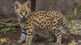 Serval Photo