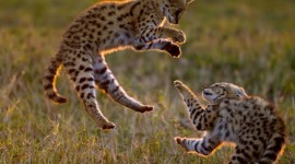 Serval Photo Download