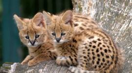 Serval Photo Free