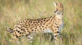 Serval Wallpaper Download