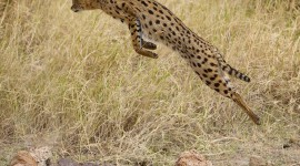 Serval Wallpaper Download Free