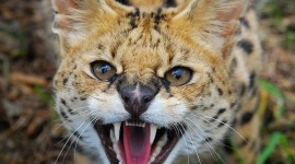 Serval Wallpaper For IPhone