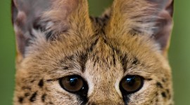 Serval Wallpaper For IPhone Free