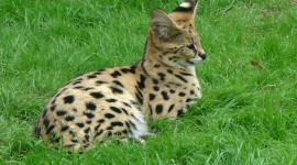 Serval Wallpaper Full HD