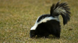 Skunk Desktop Wallpaper For PC