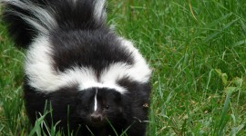 Skunk Photo