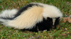 Skunk Photo Download