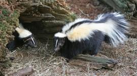 Skunk Photo Free#1