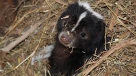 Skunk Photo#1