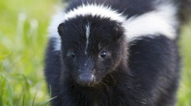 Skunk Wallpaper For IPhone