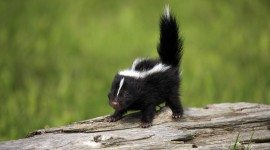 Skunk Wallpaper For PC