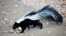 Skunk Wallpaper Free