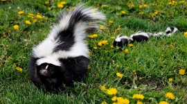 Skunk Wallpaper Full HD