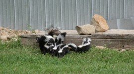 Skunk Wallpaper Gallery