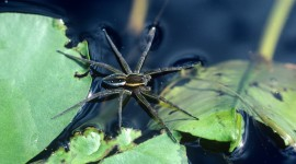 Spider On Water Photo Free