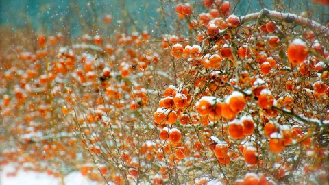 Winter Apples wallpapers high quality
