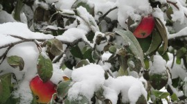 Winter Apples Photo Download