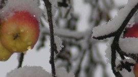 Winter Apples Wallpaper For IPhone