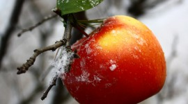 Winter Apples Wallpaper For IPhone Free