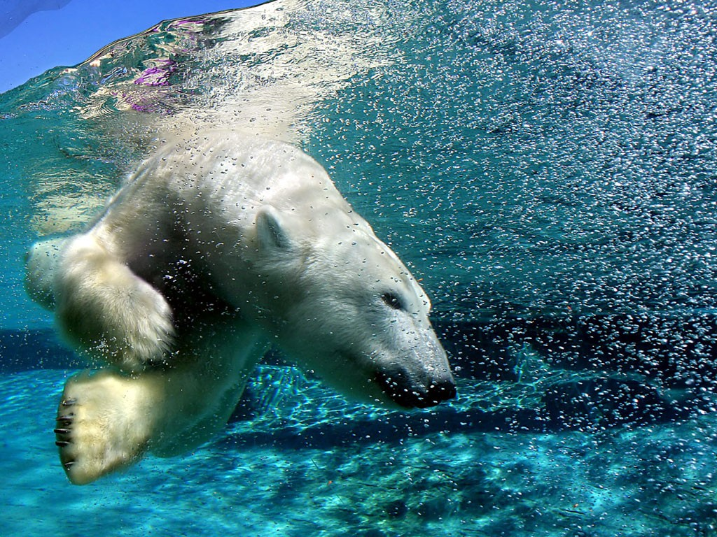 Bears Swimming wallpapers HD