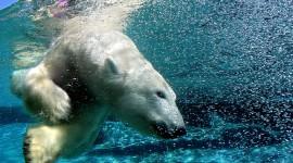 Bears Swimming Best WallpaperBears Swimming Best Wallpaper