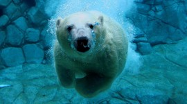 Bears Swimming Desktop Wallpaper