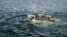 Bears Swimming Desktop Wallpaper For PC