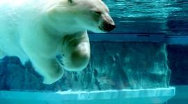 Bears Swimming Photo