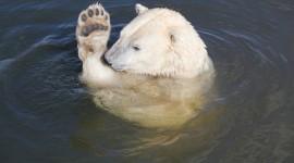 Bears Swimming Photo Download#2