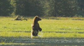 Bears Swimming Photo Free