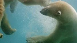 Bears Swimming Photo Free#1