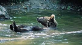 Bears Swimming Photo Free#2