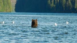 Bears Swimming Photo#1