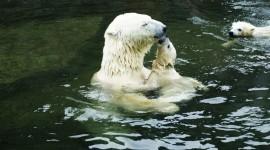 Bears Swimming Wallpaper 1080p