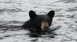 Bears Swimming Wallpaper For Desktop