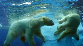 Bears Swimming Wallpaper For PC