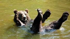 Bears Swimming Wallpaper Free