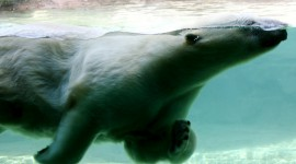 Bears Swimming Wallpaper HQ