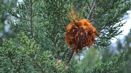 Cedar-Apple Rust Fungus Photo#2
