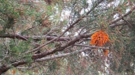 Cedar-Apple Rust Fungus Photo#3