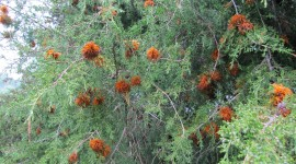 Cedar-Apple Rust Fungus Pics