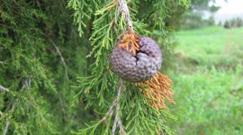 Cedar-Apple Rust Fungus Pics#2