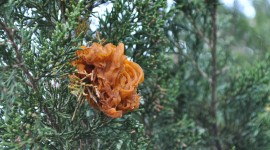 Cedar-Apple Rust Fungus Wallpaper#1