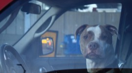 Dog Driver Desktop Wallpaper HD