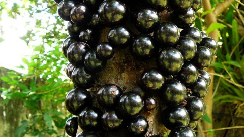 Jabuticaba wallpapers high quality