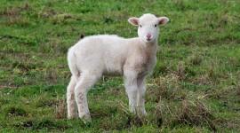 Lamb Desktop Wallpaper