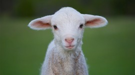 Lamb Wallpaper Download
