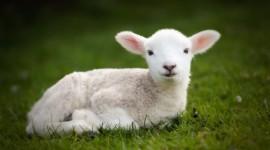 Lamb Wallpaper Download Free