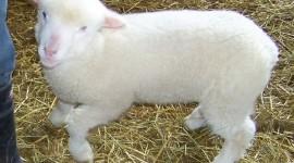 Lamb Wallpaper For Desktop